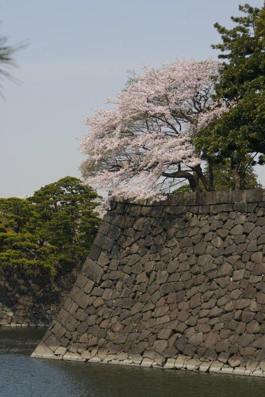 Kirschblüte am Palast