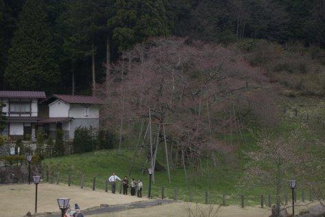 der älteste Kirschbaum Japans